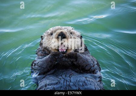 Cute nutria de mar, Enhydra lutris, tumbarse en el agua y apareciendo a sonreír o reír, Seldovia Harbor, Alaska, EE.UU.