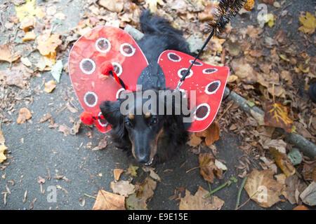 """Londres, Reino Unido. 26 de octubre de 2014. Bella, 5, un Teckel miniatura de pelo largo. Los perros vestidos en disfraces de Halloween y sus propietarios, algunos también en el vestuario, se reunieron en el Español's Inn pub antes de embarcarse en la tasa anual de Halloween perro a pasear en Hampstead Heath organizado por caridad animal 'Todos los perros asunto"""". Crédito: Nick Savage/Alamy Live News"""