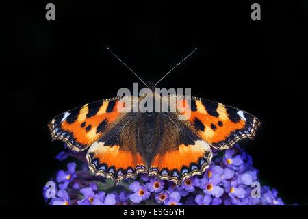 Small Tortoiseshell (Aglais urticae) butterfly alimentándose de néctar de una planta en un buddleia English country garden Foto de stock