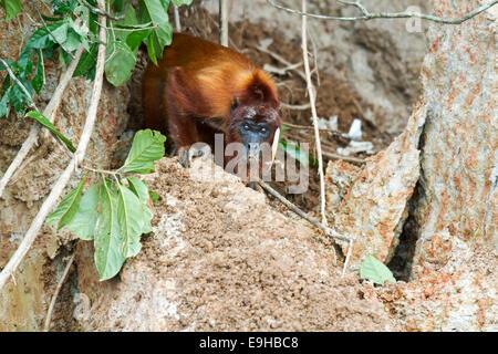 Mono aullador (Alouatta seniculus) comer la arcilla en una collpa, Reserva Natural de Tambopata, región de Madre de Dios, Perú