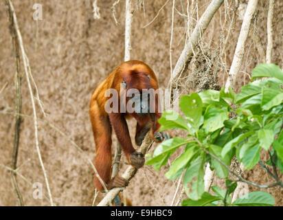 Mono aullador (Alouatta seniculus), Reserva Natural de Tambopata, región de Madre de Dios, Perú