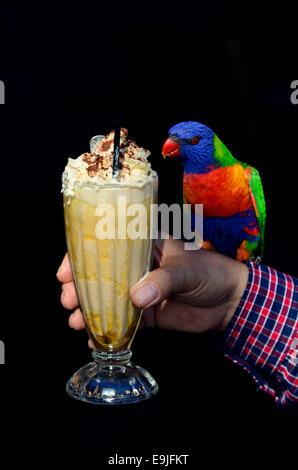 Rainbow Lorikeet australianos nativos sentarse sobre una persona mano y bebiendo malteada. aislado sobre fondo negro espacio de copia.