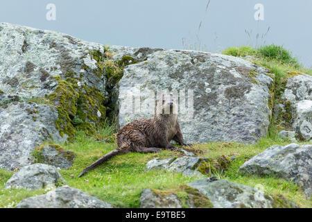 Nutria de mar, Lutra lutra, carnívoro semi-mamífero acuático, en tierra seca por lado de Loch en Isle Of Mull en el interior de las Hébridas y W