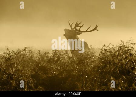Un ciervo rojo (Cervus elaphus)- Satg en la neblina al amanecer mugidos durante la rutina en Richmond Park, Londres, Inglaterra, Reino Unido.