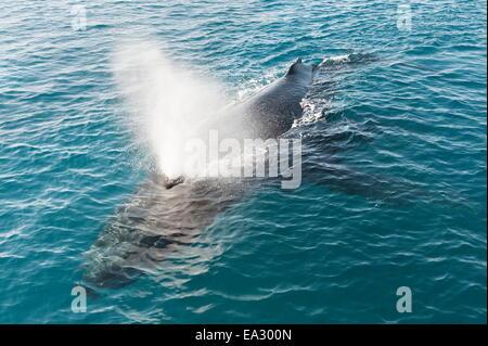 La ballena jorobada (Megaptera novaeangliae) adulto desbastado y expiramos, Hervey Bay, Queensland, Australia, el Pacífico