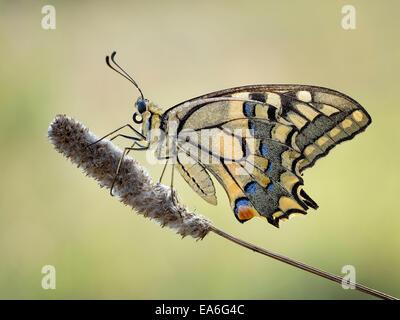 Macro shot de machaon Papilio machaon (mariposas)