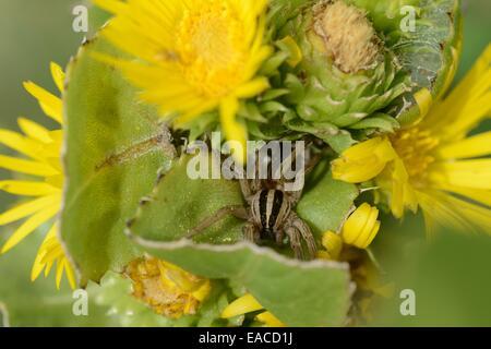 Daisy Saw-Leaf con un césped Arañas