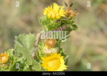 Leaffooted bugs en Saw-Leaf Daisy