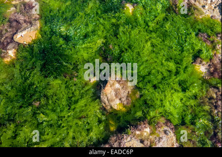 La lechuga de mar (Ulva lactuca) y gutweed / hierba (algas Enteromorpha intestinalis / Ulva intestinalis) alga verde en la roca descubierta