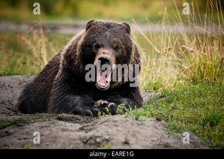 Oso grizzly (Ursus arctos horribilis) con amplias fauces abiertas, gesto amenazador, Valdez, Alaska, Estados Unidos