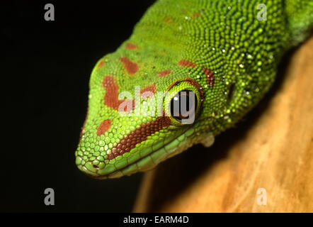 Madagascar - Geco diurno Phelsuma madagascariensis, Gekkonidae, Madagascar, África