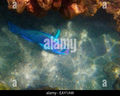 Oso Pez loro ( Chlorurus perspicillatus ), la bahía de Hanauma Nature Preserve, Oahu, Hawaii, EEUU - Underwater