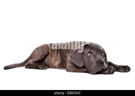Caña gris corso perrito sentar delante de un fondo blanco y mirando hacia arriba