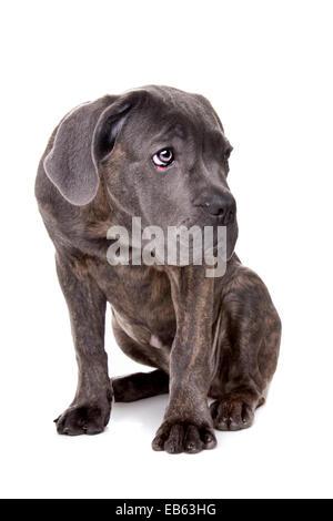 Corso de caña gris cachorro de perro sentado delante de un fondo blanco.