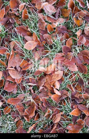 Hojas de haya caído en la hierba de la escarcha
