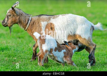 Cabra doméstica (Capra hircus, Capra aegagrus hircus. f), cabrito chupa de su madre, en Alemania, en Renania del Norte-Westfalia