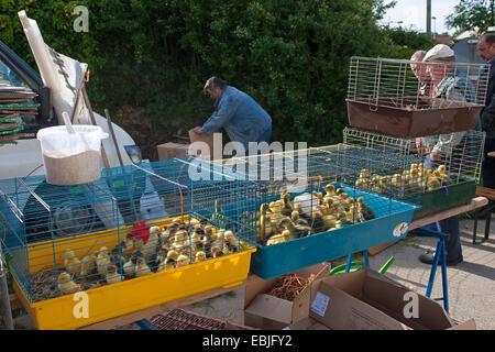 Domestic Duck (Anas platyrhynchos f. domestica), pato polluelos se ofreció a comprar en un mercado de aves