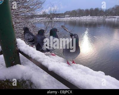 Paloma doméstica (Columba livia domestica) f., palomas salvajes en el banco del río en invierno, Alemania