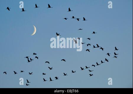 Grulla común euroasiático, grulla (Grus grus), la migración de las aves delante de la luna, en Alemania, en la Baja Sajonia