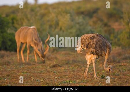 El avestruz (Struthio camelus), llamando con las mujeres, África del Sur, en el Cabo Oriental, el Parque Nacional de Elefantes Addo