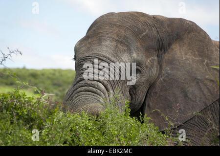 Elefante africano (Loxodonta africana), alimentándose de arbusto, retrato, África del Sur, en el Cabo Oriental, el Parque Nacional de Elefantes Addo