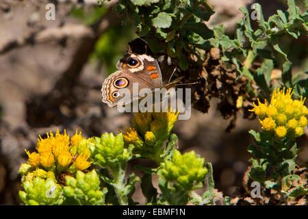 Buckeye común (mariposa Junonia coenia) alimentándose de una flor amarilla, cerca de la playa en San Simeon, California, EE.UU. en el mes de julio