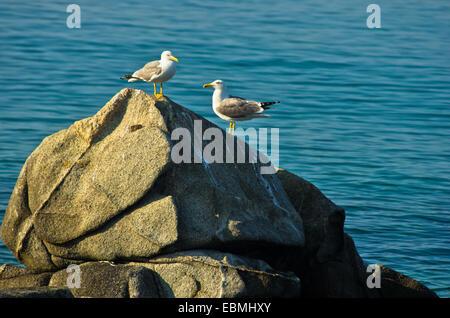 Dos gaviotas en el chat mañana sobre una roca en el mar