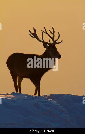 Ciervo rojo (Cervus elaphus), el toro de pie sobre una ladera cubierta de nieve al atardecer, Austria Vorarlberg Foto de stock