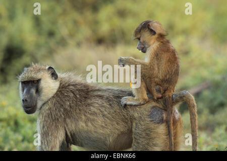 Babuino amarillo, savannah babuino, anubius babuino, olive babuinos (Papio anubis, Papio cynocephalus anubis), babuinos, madre y bebé, Kenya, Reserva Nacional de Samburu Foto de stock