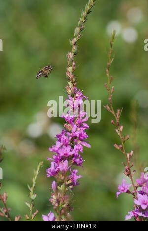 Unión Wand, Lythraceae salicaria, Wand (Lythraceae Lythrum virgatum), bee acercándose a la inflorescencia, Alemania, BGFFM