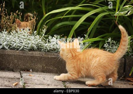 Gato doméstico, los gatos domésticos (Felis silvestris catus) f., dos rojos atigrado gatitos jugando en la cama de flor, Alemania Baden-Wurtemberg