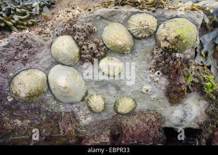 Lapa común (Patella vulgata) y acorn percebes adjuntas a las rocas expuestas en la marea baja, Dorset, Inglaterra, Reino Unido.