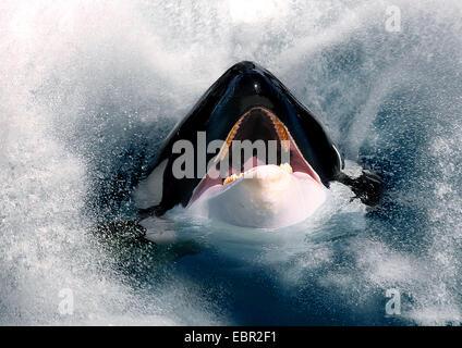 Orca, gran, grampus orca (Orcinus orca), hesd con la boca abierta mirando al mar