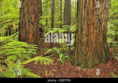 Costa redwood, secuoya (Sequoia sempervirens), troncos de árboles y helechos arborescentes, Nueva Zelanda, Isla del Norte, Bahía de Plenty, Bosque Whakarewarewa