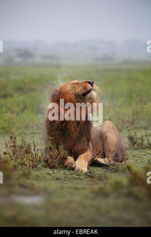 León (Panthera leo), Male lion agitando el agua fuera de su cabeza mojada de lluvia, Tanzania, el Parque nacional Serengeti
