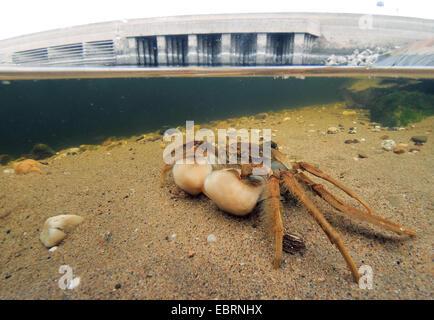 Cangrejo guante chino (Eriocheir sinensis), a la orilla del Rin, en Alemania, en Renania del Norte-Westfalia, Duesseldorf