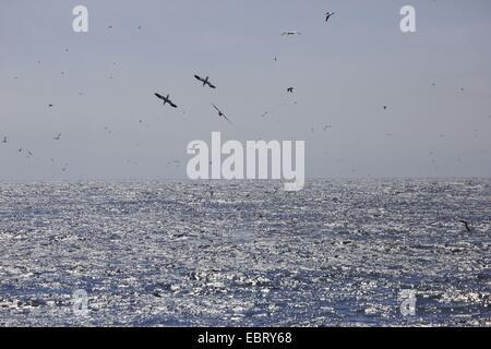 Norte de alcatraces (Sula bassana, Morus bassanus), volando sobre el mar, huntung, Reino Unido, Escocia Foto de stock