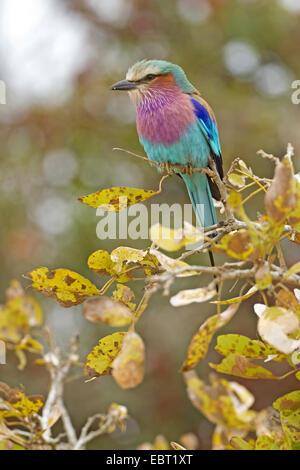 Lila-breasted rodillo (Coracias caudata), sentado en una rama, Sudáfrica, el Parque Nacional Krueger