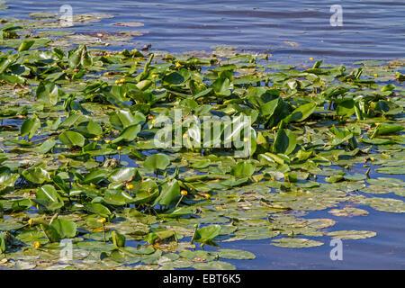 Unión amarillo-estanque de lirios de agua amarilla, lily (Nuphar lutea), floreciendo en un lago, en Alemania, en Baviera, el lago Chiemsee