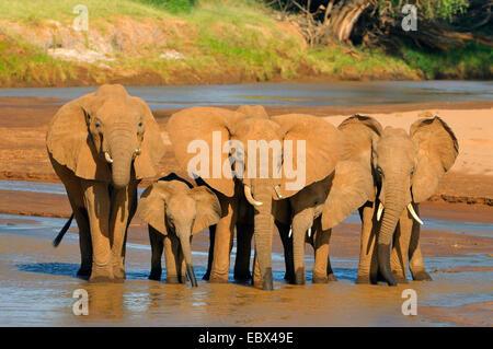 Elefante africano (Loxodonta africana), el rebaño de bebidas en un río, Kenya, Reserva Nacional de Samburu Foto de stock