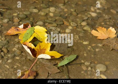 Hojas de otoño flotando en el charco amarillo marrón