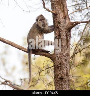 Llorona capuchino (Cebus nigrivittatus)