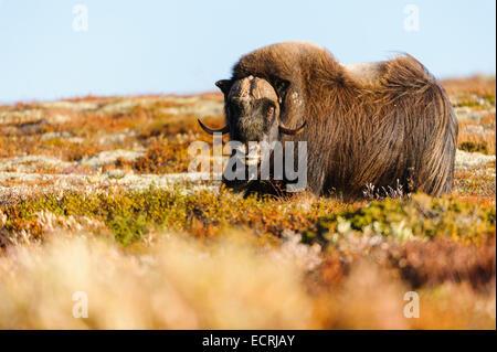 Muskox de pie en las montañas noruegas.