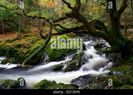 Parque Forestal Tollymore shimna el flujo del río que fluye a través del Condado de Down en Irlanda del Norte el otoño otoñal otoño