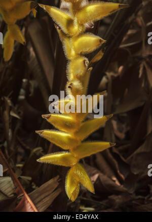 Heliconia xanthovillosa Flor que crece en las junglas de Hawaii Foto de stock