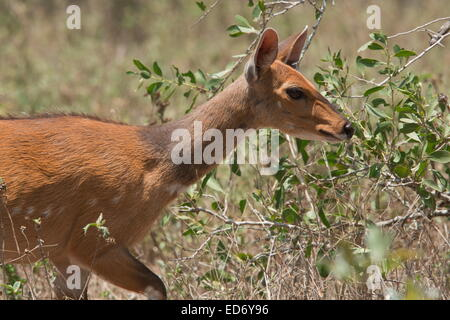 El Bushbuck, Tragelaphus scriptus hembra en el Parque Nacional Kruger, Sudáfrica