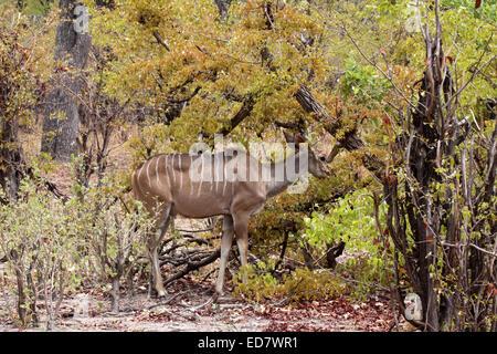 Mayor exploración de vaca en Mapani kudu woodland en Botswana