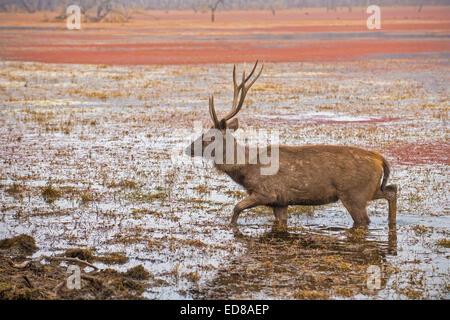 Ciervo ciervo sambar (Cervus unicolor Níger) caminar en las aguas de un lago en el parque nacional de Ranthambore