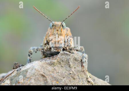 Blue-winged grasshopper [Oedipoda caerulescens], Alemania