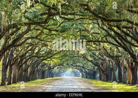 Savannah, Georgia, Estados Unidos oak road en arbolada histórica plantación Wormsloe.